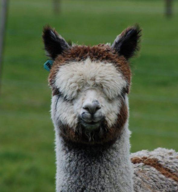 Favourite Pembrokeshire Alpaca Sweet Home Alpaca 33